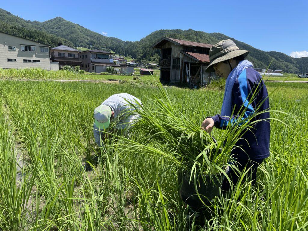 田んぼの中で草取りしながらエクササイズ♪