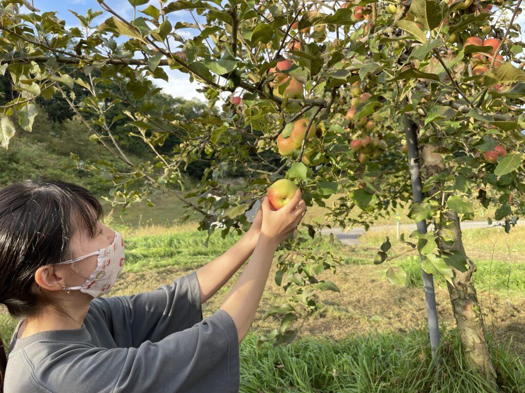 黒内果樹園『飛騨のりんご収穫』のお手伝い!
